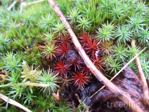 red bryophyte