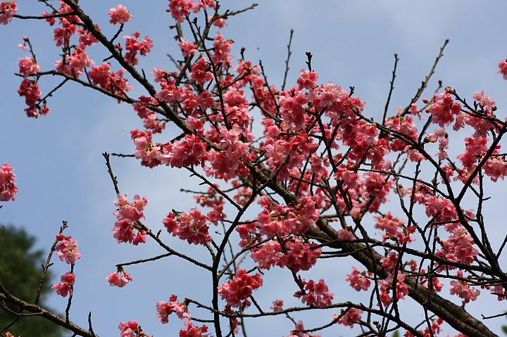 三芝櫻花32