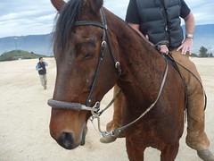 Jade the appaloosa horse (sgroi) Tags: park horse caballo appaloosa griffith rider cavalo hackamore