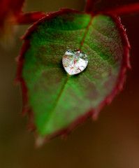 rose leaf (buffalo_jbs01) Tags: macro drop d200 105mm macromarvels