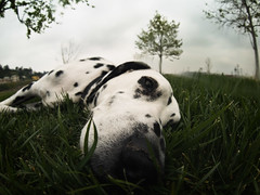 It's Enough Just to Listen (Muzzlehatch) Tags: cooper getty rainbows 8mm 2009 dalmatian peleng inttag
