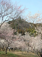 DSC07911.JPG (chinitanglatina) Tags: flowers nature japan spring ome ume yoshino plumblossoms umematsuri