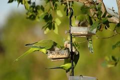 The Green Gang (k9luv) Tags: green birds feeding parrots