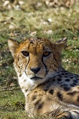 Cheetah (Gerwin Filius) Tags: animals zoo cheetah dieren beeksebergen dierentuin jachtluipaard canon70200mm canon400d canonef70200mmf4lisusm