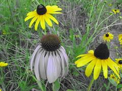IMG_1382 (sam.strasser2011) Tags: flower michigan wildflower blackeyedsusan