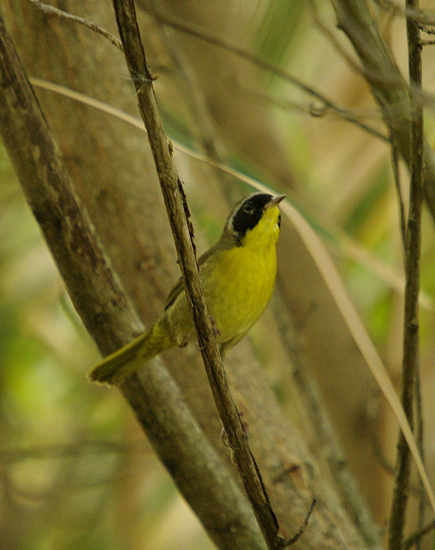 Common Yellow Throat -