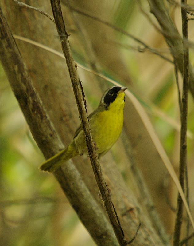 Common Yellow Throat -