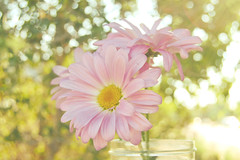 Happy Bokeh Wednesday:) (.Jackie.) Tags: pink daisies bokeh sunflare