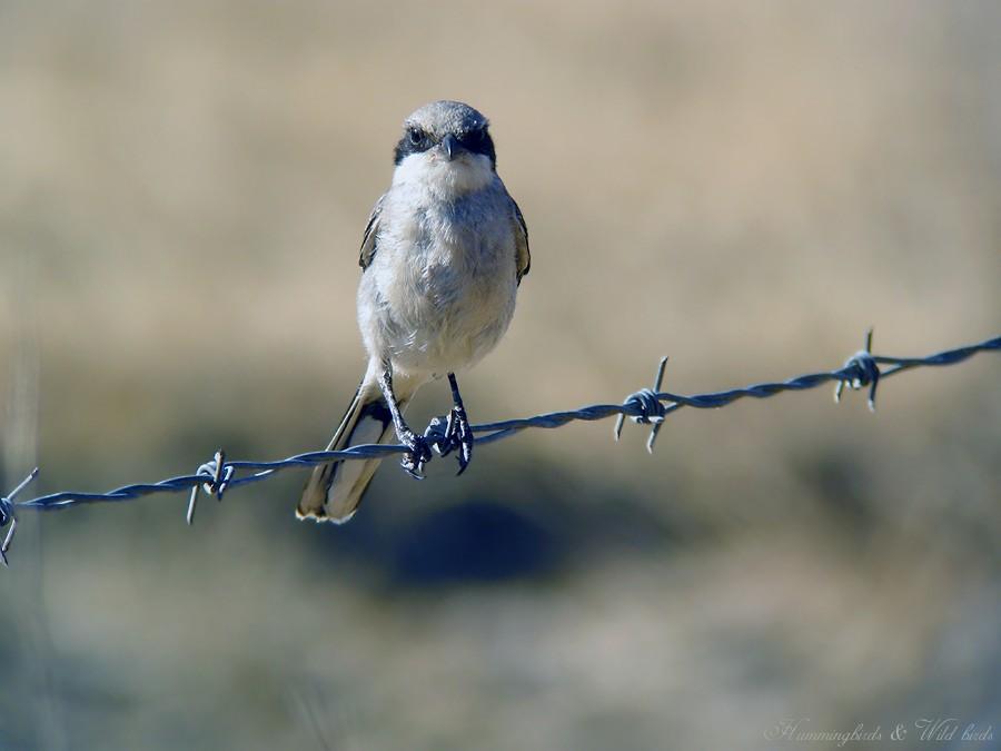 Laggerhead Shrike07091-2