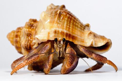Hermit_crab-10