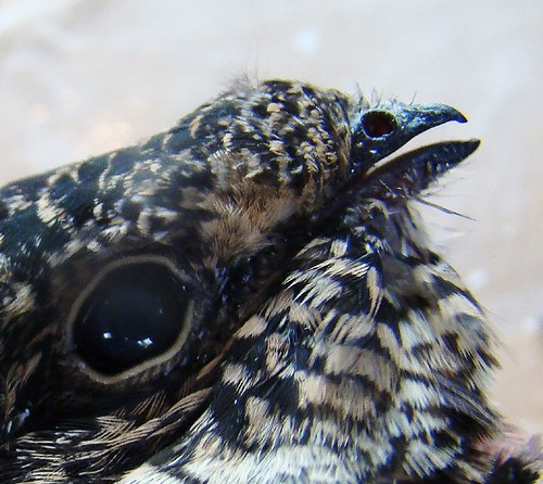 Macro nighthawk beak