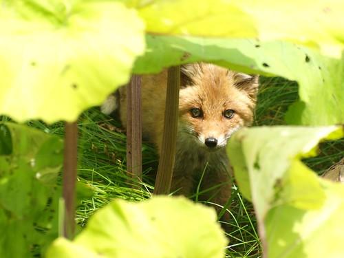 見つかってしまった狐
