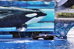 Shamu (Ronaldo F Cabuhat) Tags: pictures show trip travel blue summer vacation water pool mammal star orlando florida widescreen bluewater pic fresh photographs whale orca seaworld performer shamu killerwhale act waterpool liveshow synchronized orcinusorca liveact orlandoflorida blackfish hugescreen staroftheshow ledscreen giantscreen bigpool watermammal canoneos50d seaworldorlandoflorida livetelecast canonefs70200mmf28isusm trainedanima