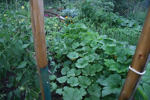 rainy garden squash