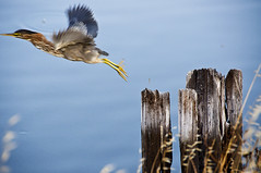 Good timing?  Nope, just plain ol' good luck (Romair) Tags: bird heron nature water outdoors nikond70 wetlands marincounty nightheron flyingbird nikon18200lens cortemaderamarsh marinij rogerjohnson