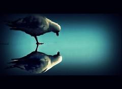 paranoia (bkiwik) Tags: ocean newzealand bird water look digital canon mirror see sand seagull reflected pacificocean reflect nz mirrored aotearoa 2009 paranoia avian reflects newbrighton eos400d