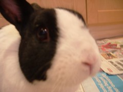nibbles (Astrid Poulsen) Tags: cute rabbit bunny dutch rabbits cuteness faroeislands nibbles socute valur faroes dutchrabbit froyar dutchrabbits foroyar vlur astridpoulsenpics