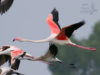 Flamingo - Phoenicopterus ruber roseus - Greater Flamingo