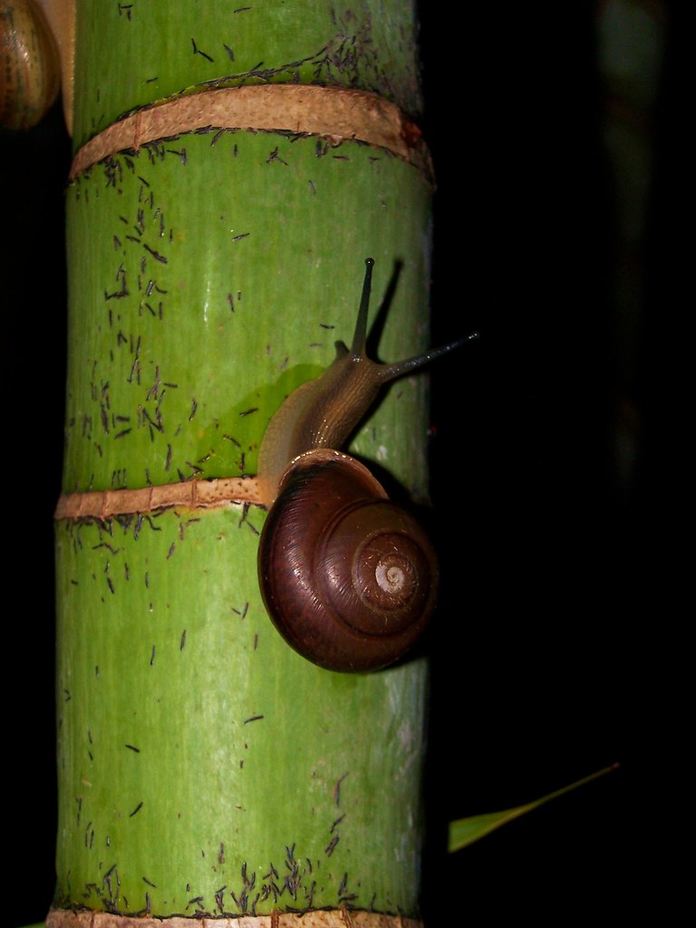 Snail Bamboo