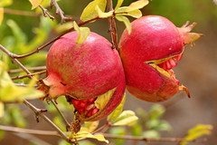 Smiling Pomegranate (SWAIDAN  to Syria  G.W.L.K_) Tags: smiling canon flickr fineart pomegranate canon350d syria 1001nights qarah swaidan