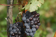 grapes on the vine (Steve Courson) Tags: vineyard wine niagara vineyards grapes wineries niagaravineyards niagarawine stevecourson
