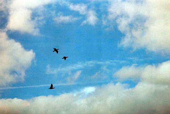 Geese Flying Against Cloudy Sky (Click to enlarge)