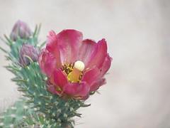 Cactus Flower: Las Vegas, Nevada (NV) (Floyd Muad'Dib) Tags: las vegas flowers cactus plants usa plant flower america cacti geotagged us unitedstates lasvegas united nevada nv western states floyd muaddib lasvegasnv lasvegasnevada westernusa floydmuaddib