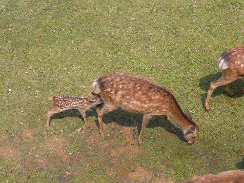 母子鹿の特別公開@鹿苑角きり場-18