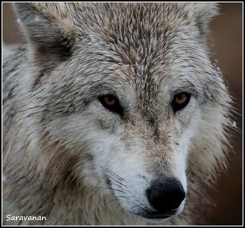 Wolf by Saravanansuri