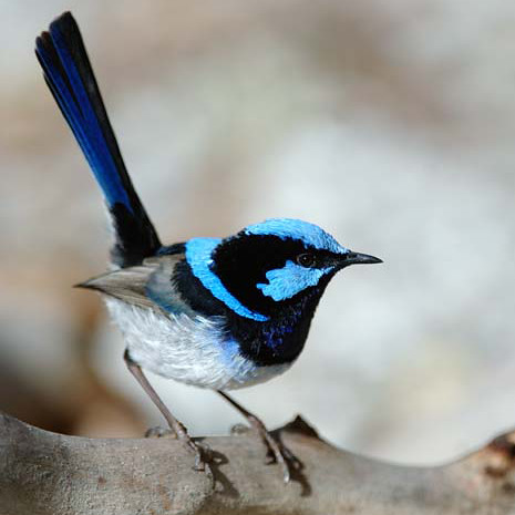 bluewrenpic