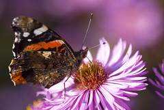 Red Admiral Butterfly (Carl Scott) Tags: pink friends red vanessa brown white black flower butterfly dark redadmiral admiral atalanta vanessaatalanta redadmiralbutterfly topshots bej beautifulexpression mywinners platinumphoto flickraward estremit platinumheartaward theperfectphotographer pyrameis pyrameisatalanta goldstaraward excapturemacro natureselegantshots rubyphotographer amazingmacros flickrflorescloseupmacros beautifulmonsters superamazingmacrosaward panoramafotogrfico alittlebeauty mallmixstaraward dragondaggerphoto dragondaggeraward thesuperstarthebest thebestofmimamorsgroups vipveryimportantphotos superstarthebest
