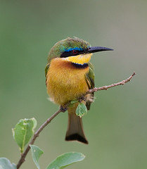 Little Bee eater (merigan) Tags: kenya goldaward littlebeeeater bej specanimal animalkingdomelite colorphotoaward ubj