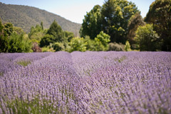 the color purple ! (D3 Photography) Tags: trees nikon dof purple bees lavender sigma australia hills outback fullframe fx d3 50mmf14