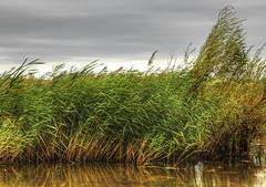 England: Bedfordshire - Windy Day Reeds (Tim Blessed) Tags: uk nature water reeds landscape countryside scenery lakes wetlands ponds singlerawtonemapped