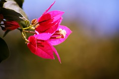 Pink Petals (@Doug88888) Tags: pictures africa pink blue autumn vacation england holiday flower color colour green nature digital canon happy eos photo leaf petals stem colorful bright image bokeh picture images september petal buy bloom zanzibar colourful dslr purchase eastafrica tanazania 400d doug88888