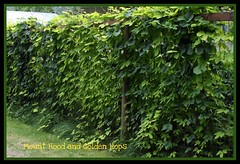 Hops on the fence. (arrowlakelass) Tags: green june fence garden 2008 perennials hops humuluslupulus cannabaceae goldenhops humuluslupulusaureus mounthoodhops