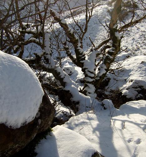 Snowy tree 06Feb09