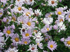 ASTER 'Noreen'