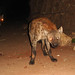 Feed the hyaena: no, I am not on the menu