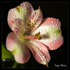 Baby Bloomer! (iTail ~ Steve Page) Tags: pink fab white flower macro green love wet water beauty yellow canon droplets flora soft lily heart sweet young pistil petal bloomer stamen bloom raindrops waterdrops soe tender gentle peruvian blooming moist excellence reproduce teardrops peruvianlily itail fantasticflower mywinners abigfave platinumphoto impressedbeauty frhwofavs overtheexcellence macrolife goldstaraward rubyphotographer 5dmarkii vosplusbellesphotos