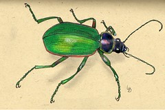Beetle a Day (GunnerGirl) Tags: art illustration pen ink bug insect sketch journal beetle sketchbook draw markers coloredpencil coleoptera beetleaday