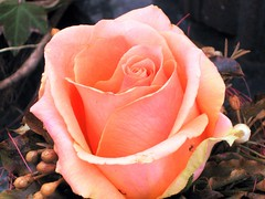 Rosenbild (sabrina. G) Tags: rose rosa naturesfinest fantasticflower abigfave overtheexcellence wonderfulworldofflowers