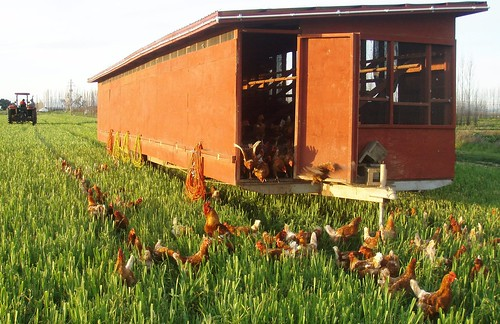 Eatwell Farm Hens Enjoying New Pasture