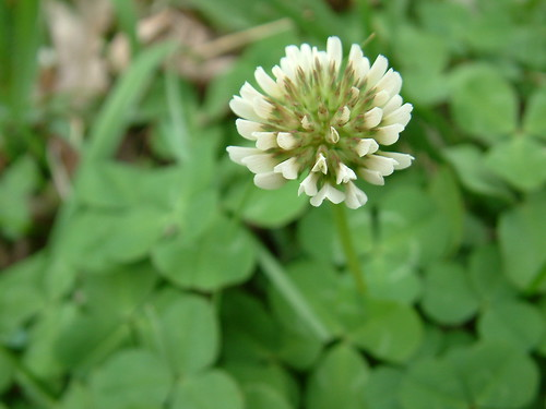 White Dutch Clover (Trifolium repens):  Happy St. Patrick
