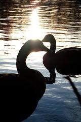 (jackiegee01) Tags: lake bird geese newjersey pond nj jerseyshore oceancounty