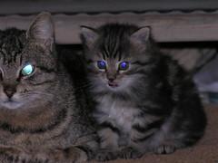Baby cat (CyberMacs) Tags: cute animal cat felicia kitty kit macska cica kedi felid yumak cicus yumo