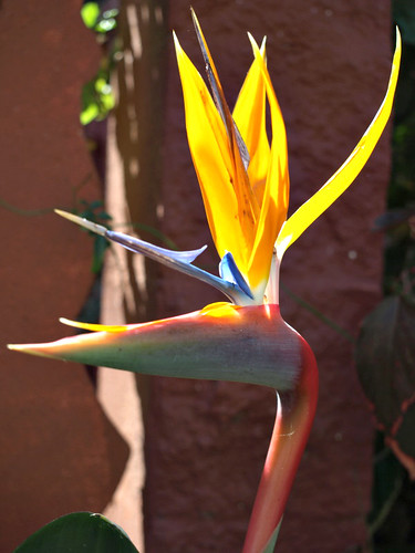 Queen of the plants - the bird of paradise