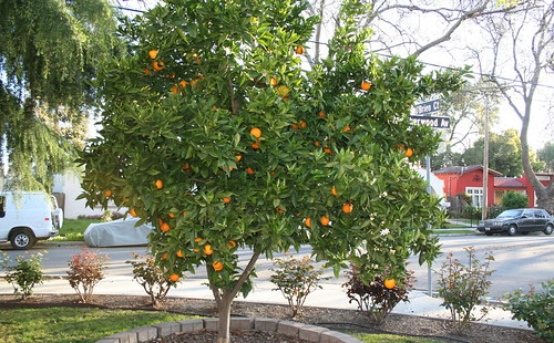 oranges in spring