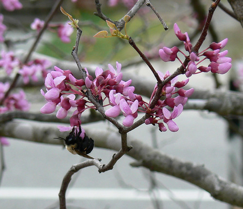 Hertford Tree Memorial - Bumble Bee on Red Bud Blossom (Cropped and Sharpened)