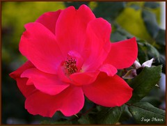 """Wild Red Rose"" (iTail ~ Steve Page) Tags: red fab flower green leaves canon flickr heart bokeh award petal soe cubism itail supershot hbw abigfave worldbest goldstaraward rubyphotographer"